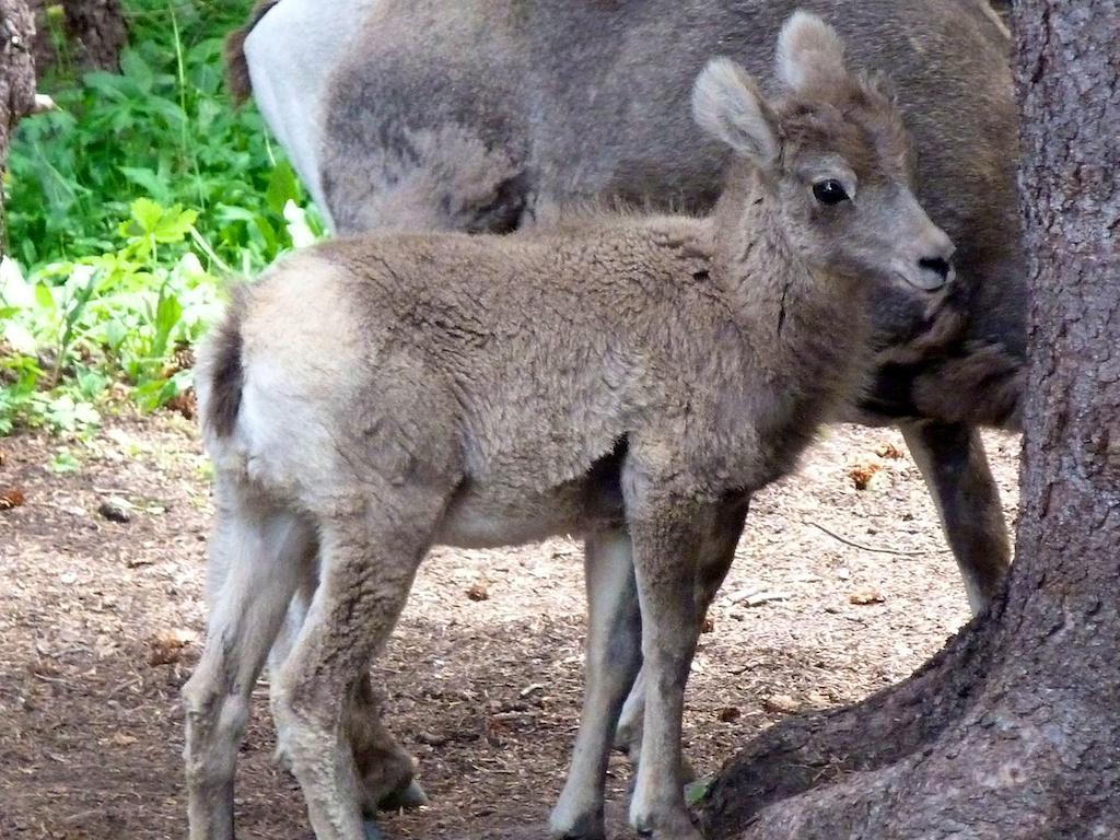 Baby_bighorn