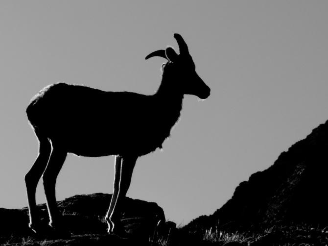 Sheep_near_camp